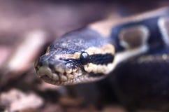 Pythonschlange ` s Kopfmakro lizenzfreie stockbilder