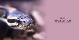 Pythonschlange ` s Schlangen-Kopf-Makrofoto des Auges in der Schärfe stockfoto