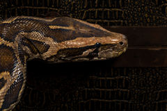 Pythonschlange-Schlange stockfotografie