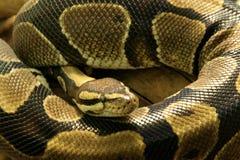 Pythonschlange-Schlange lizenzfreie stockfotos
