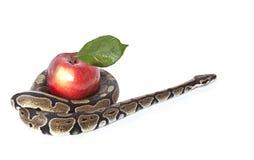 Pythonschlange-Schlange mit rotem Apfel stockfotos