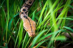 Pythonschlange u. x28; Morelia-viridis& x29; Nahaufnahme des Auges Stockfotografie