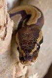Pythonschlange von der Front stockfotos