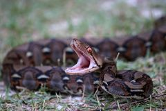 Pythonschlangenschlange, die seinen Mund zum Kampf im Garten öffnet stockbild