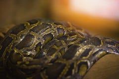 Pythonschlangenschlange - riesige retikulierte Pythonschlange Asiens, die auf einer Niederlassung liegt stockfotografie