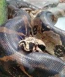 Pythonschlangenschlange umwickelte in Gefangenschaft in Jaie Duque-Park stockfotografie