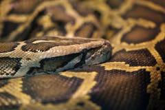 Pythonschlangenschlangenschlaf lizenzfreies stockfoto