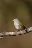 Pytilia viridipenne femelle (Melba Finch) Photos libres de droits