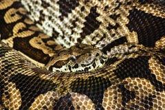 Pyton Το μακρύτερο φίδι στον κόσμο Ήσυχα κοιμισμένος, κατσαρωμένος σε ένα δαχτυλίδι στοκ εικόνα