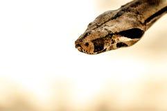 Pyton - Brown węża głowa Zdjęcie Stock