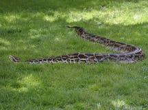 Pytonorm i gräset Arkivbilder