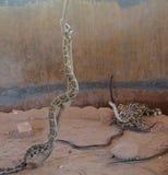 Pytonormer och ormar royaltyfri fotografi