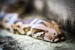 Pytonormorm, den smyga sig ormen Arkivfoton