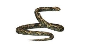 Pytonu wąż Fotografia Royalty Free