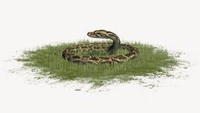 Pytonu wąż w defence w trawie Zdjęcie Royalty Free