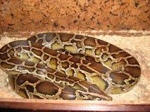Pytonu węża boa gada węża duża skóra Fotografia Royalty Free