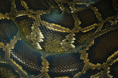 pytonu węża skóra i waży deseniowy makro- Obraz Royalty Free