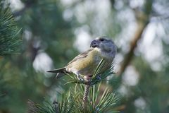 Pytyopsittacus van papegaai crossbill Loxia Royalty-vrije Stock Foto's