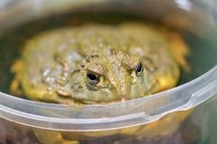 Pyxicephalus adspersus. African giant bullfrog. The green frog is a water-plant, digging frog sitting in a plastic bucket close - royalty free stock photo