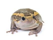 Pyzata żaba na białym tle Obraz Stock