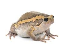 Pyzata żaba na białym tle Zdjęcie Royalty Free