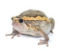 Pyzata żaba na białym tle Zdjęcia Royalty Free