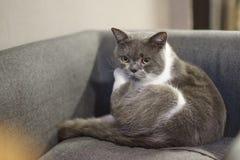 Pyzaty błękitnego kota obsiadanie na leżance fotografia royalty free
