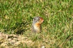 Pyzaty Groundhog zakończenie W górę fotografia royalty free