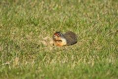 Pyzaty Groundhog zako?czenie W g?r? zdjęcie stock