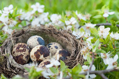 Qail eggs in nest Royalty Free Stock Images