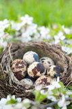 Qail eggs in nest Stock Image