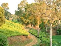 Qaint path between tea fields. A tree-lined road between tea fields on the island of Java stock photography