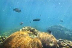 QE珊瑚大球鱼 免版税库存图片