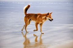 QE FI Beach dingo side Stock Image