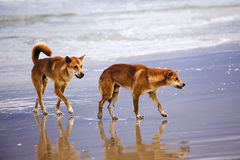 QE Fi Beach Dingoes Royalty Free Stock Images