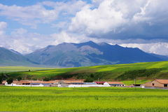 Qilian mountain steppe of rape flower Stock Image