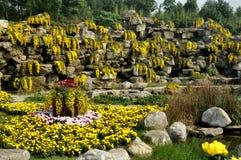 Qingbaijiang, China: Yellow Mums on Rocky Cliff Royalty Free Stock Photo
