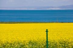 Qinghai湖和强奸花 免版税库存图片