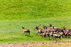 Qinghai grasslands running deer Royalty Free Stock Photography