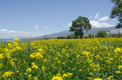 Qinghai Lake and Rape Flower. The landscape of Qinghai Lake in China Royalty Free Stock Photos