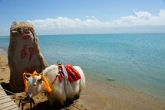 Qinghai Lake and yak Stock Photo