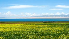 Qinghai Lake and Yellow Flowers Stock Photos