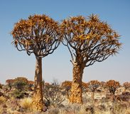 Qiwer tree Stock Photo