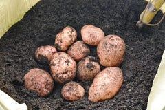 Qrganic potatoes grown in a garden Royalty Free Stock Image