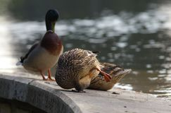 Duck Family. A qroup of ducks with an acrobatic female cleaning its leg stock photography