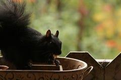 Québec d'Au d'automne d'en de nature de La/beaux écureuils Image stock