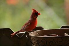Québec d'Au d'automne d'en de nature de La : Papa Cardinal Images stock