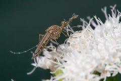 Qué aparece ser una especie del insecto del mosquito en una flor blanca - Minnesota admitido imagen de archivo