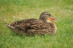 Quack Stock Image