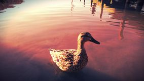 quack fotos de archivo
